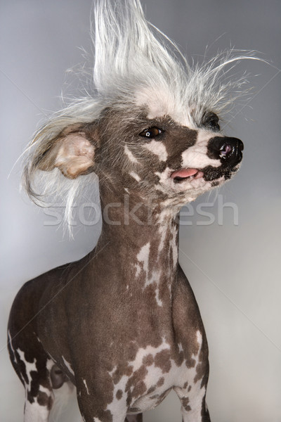 Chinese Crested dog portrait. Stock photo © iofoto