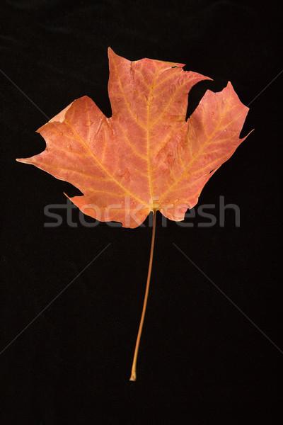 красный Maple Leaf черный лист цвета никто Сток-фото © iofoto