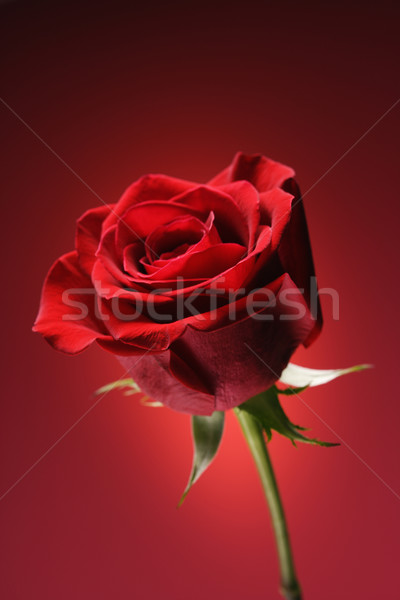 Red rose on red. Stock photo © iofoto
