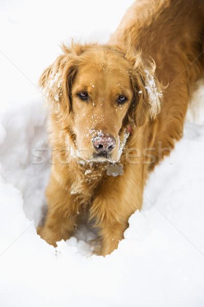 собака снега Золотистый ретривер ушки играет Сток-фото © iofoto