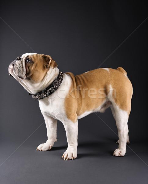 Bulldog portrait. Stock photo © iofoto