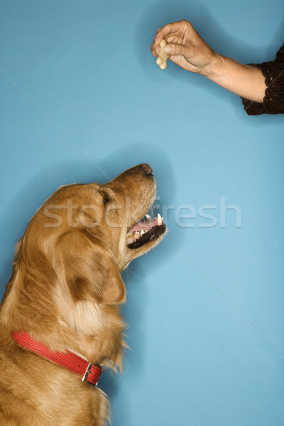 Dog looking at treat. Stock photo © iofoto