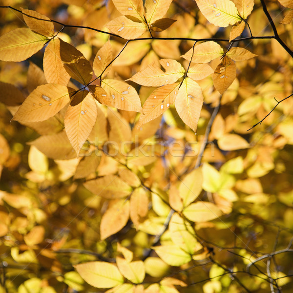 Yellow tree leaves. Stock photo © iofoto