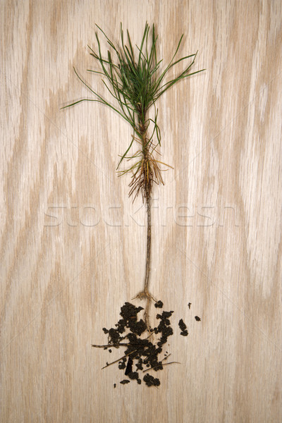 Unearthed sapling tree. Stock photo © iofoto