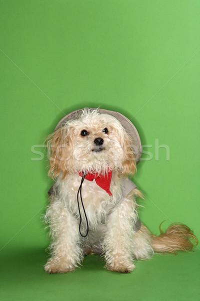 Bolyhos kis kutya szafari zöld portré szín Stock fotó © iofoto