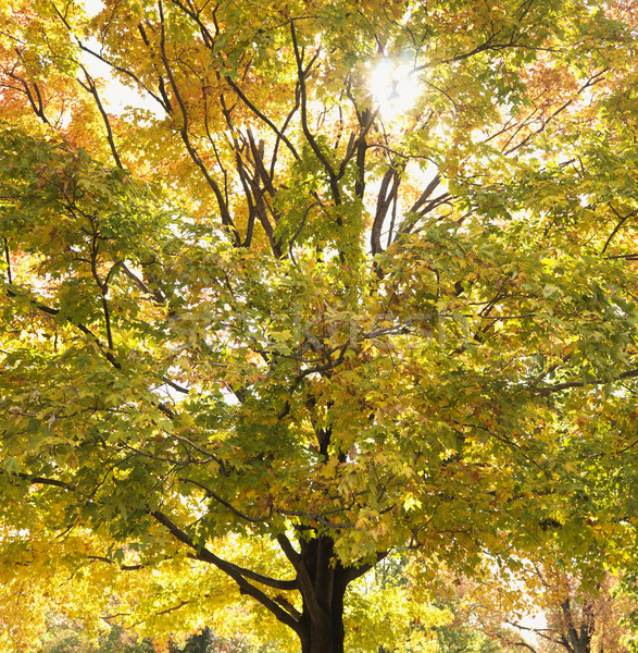 Maple tree in autum. Stock photo © iofoto