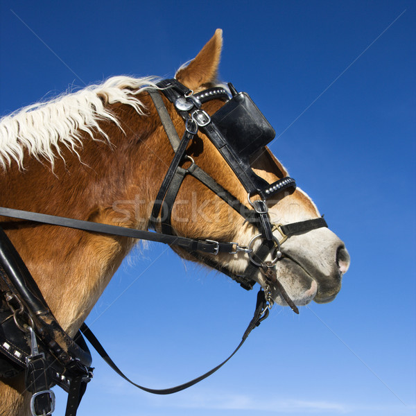 Draft horse. Stock photo © iofoto