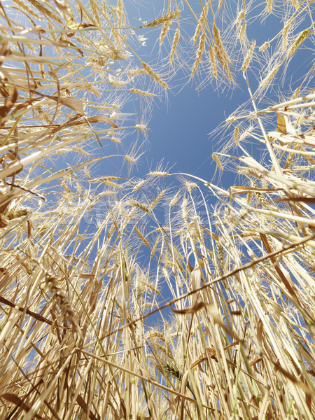 Wheat in blue sky. Stock photo © iofoto