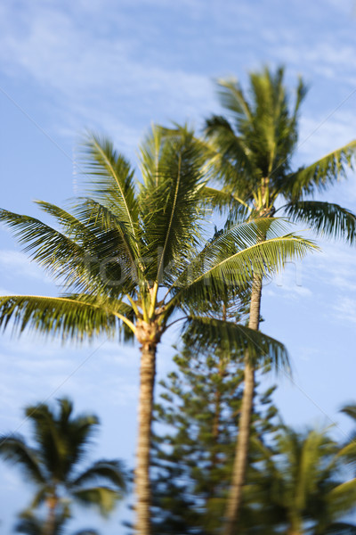 Palm trees n Maui, Hawaii. Stock photo © iofoto