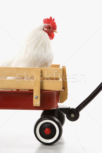 White rooster in red wagon. Stock photo © iofoto