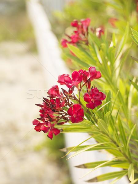 Virágzó bokor tengerpart mögött fehér kerítés Stock fotó © iofoto