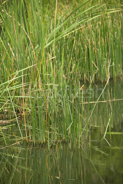 Grasses by water. Stock photo © iofoto