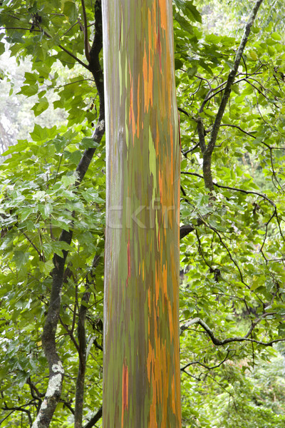 Rainbow Eucalyptus tree in Maui. Stock photo © iofoto