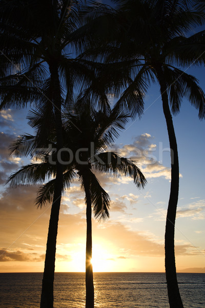 Maui sunset with palm trees. Stock photo © iofoto