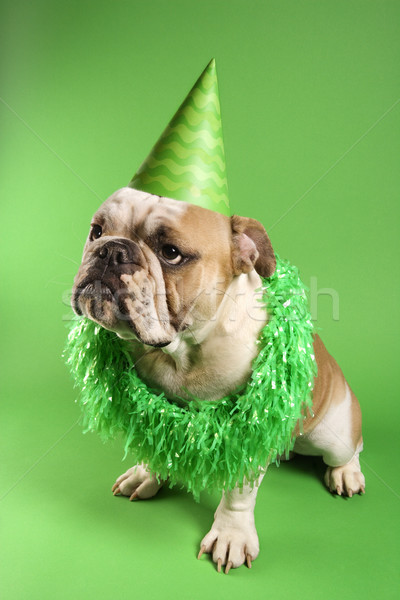 English Bulldog in party hat. Stock photo © iofoto