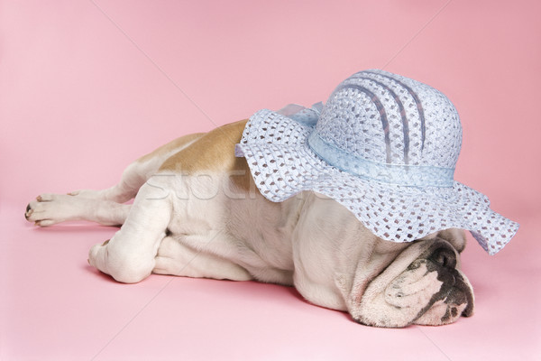 Sleeping English Bulldog. Stock photo © iofoto