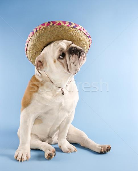English Bulldog wearing sombrero. Stock photo © iofoto