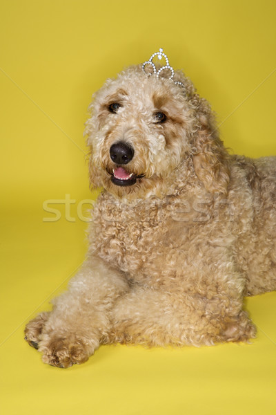 Goldendoodle dog wearing tiara. Stock photo © iofoto