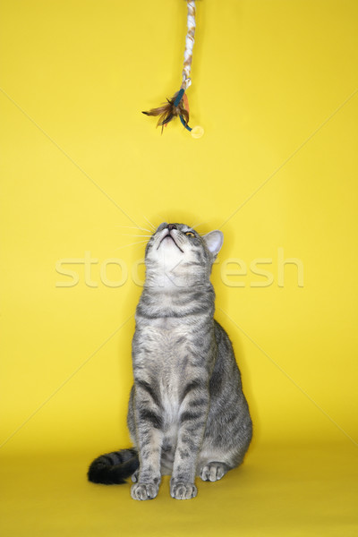 Gray cat looking at toy. Stock photo © iofoto