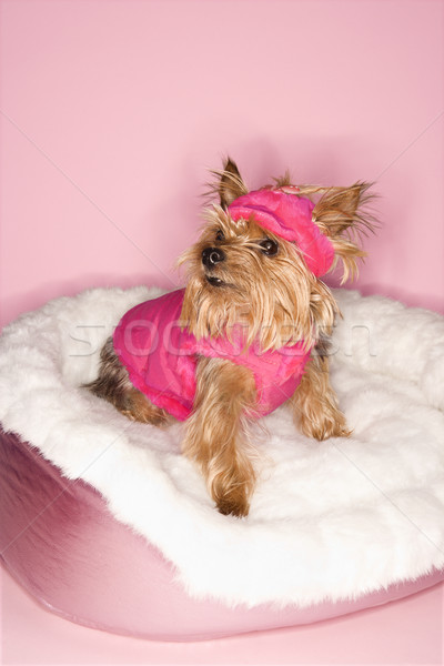 Yorkshire terrier chien rose lit Photo stock © iofoto