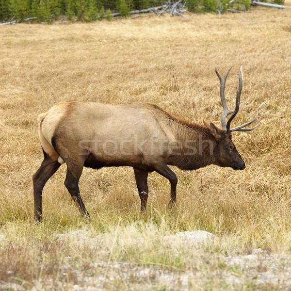Elk in Yellowstone Park. Stock photo © iofoto
