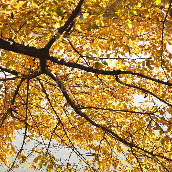 ニレ ツリー 秋 色 ワシントンDC 米国 ストックフォト © iofoto