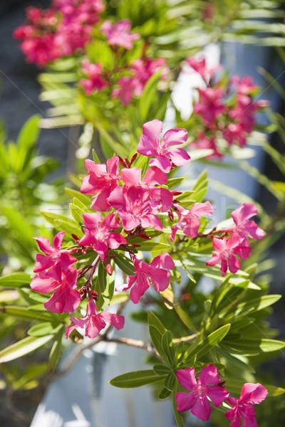 Flowering plant. Stock photo © iofoto