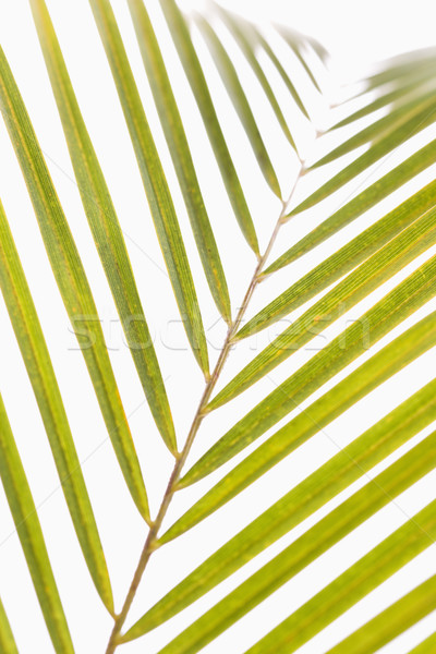 Palm frond. Stock photo © iofoto