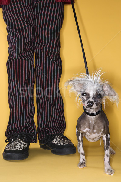 Chinese Crested dog on leash with man. Stock photo © iofoto