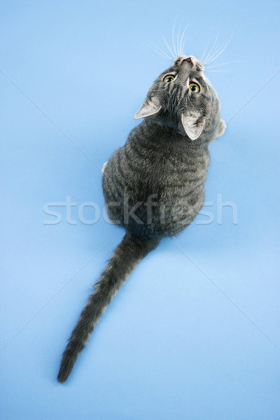 Gray striped cat looking up. Stock photo © iofoto