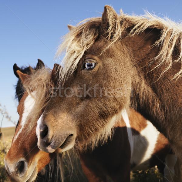 Miniatűr lovak profil portré kettő barna Stock fotó © iofoto