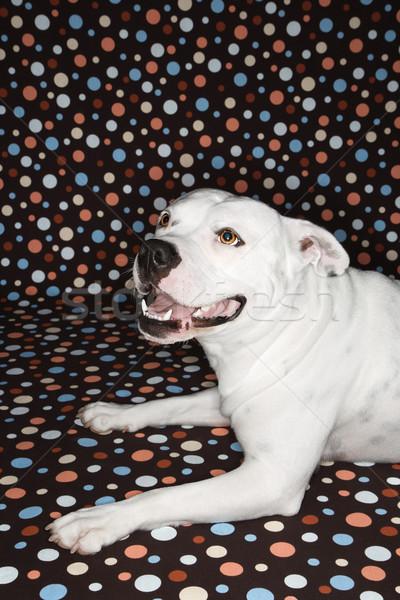 Cão branco touro sorrir feliz Foto stock © iofoto