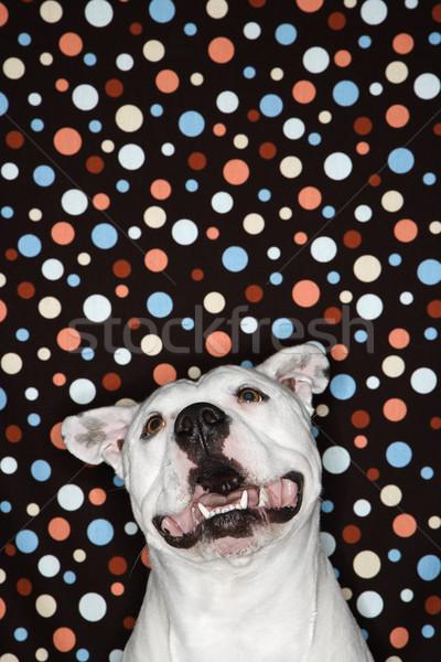 Chien à pois blanche Bull heureux couleur Photo stock © iofoto