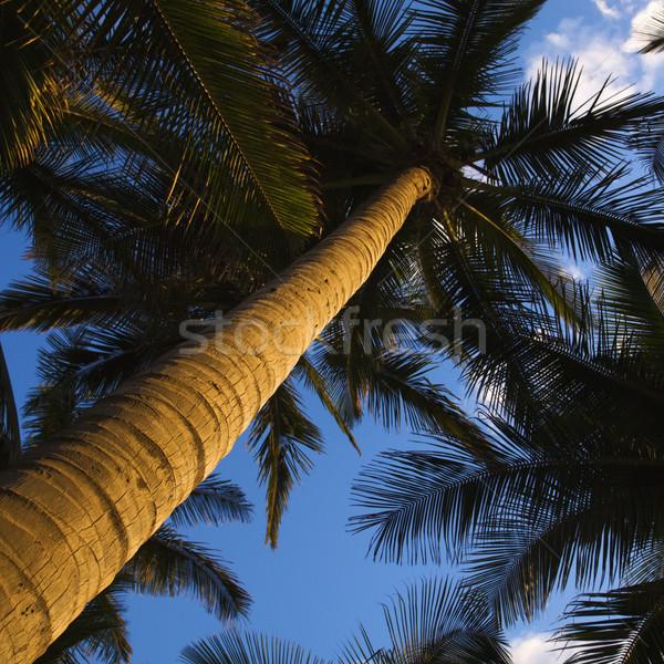 Low angle  palm tree. Stock photo © iofoto