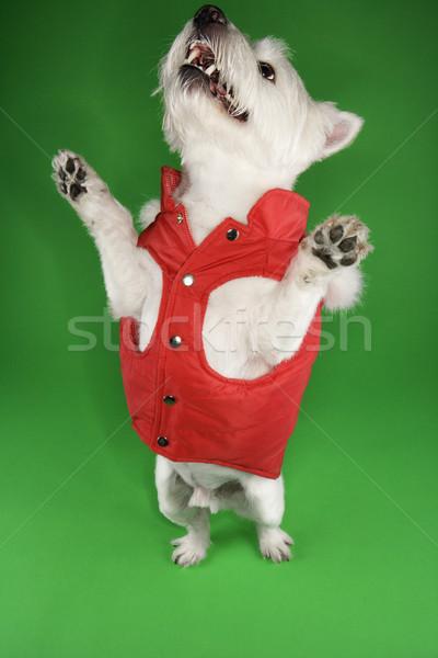 Branco terrier cão vermelho casaco em pé Foto stock © iofoto