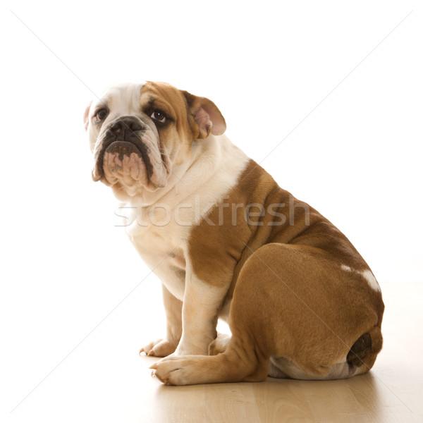 English Bulldog  portrait. Stock photo © iofoto