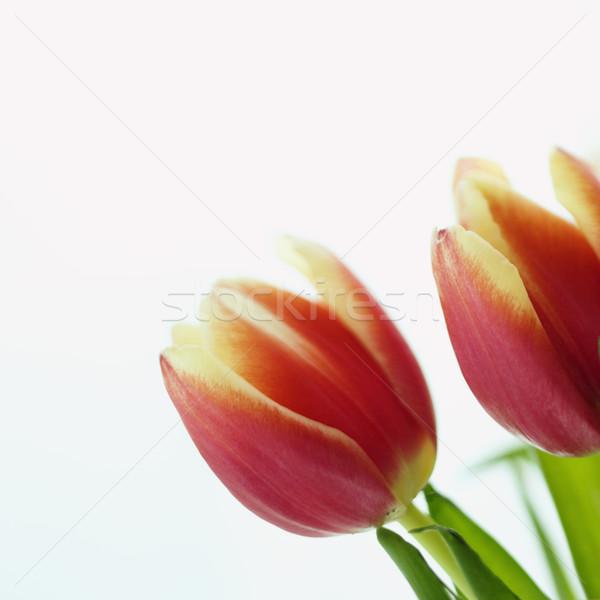 Tulip flowers. Stock photo © iofoto