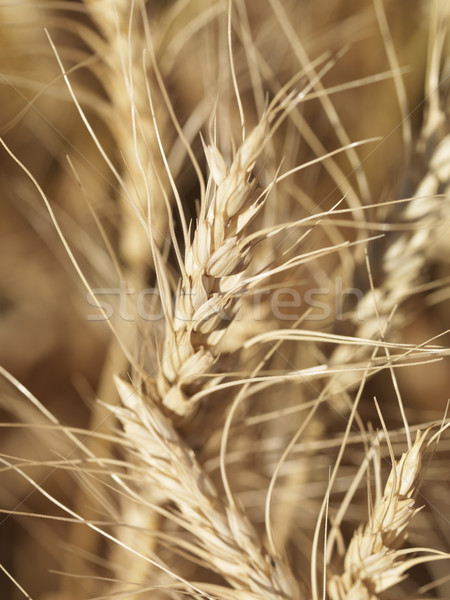 Grano view pronto raccolto alimentare Foto d'archivio © iofoto
