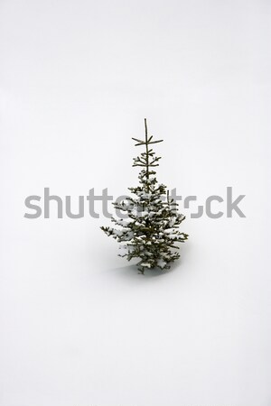 Lone pine sapling in snow. Stock photo © iofoto