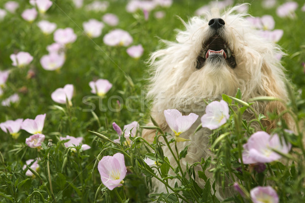Fluffy small dog in flower field. Stock photo © iofoto