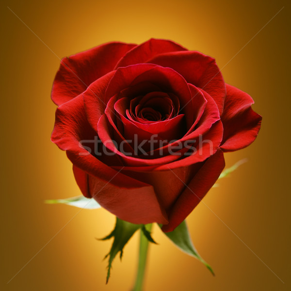 Red rose on gold. Stock photo © iofoto