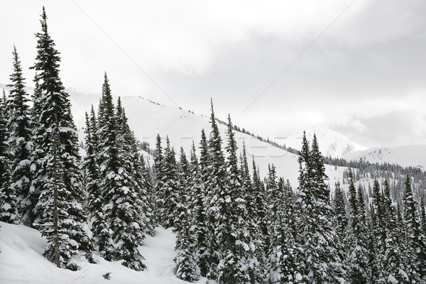 Stock photo: Snow covered trees.