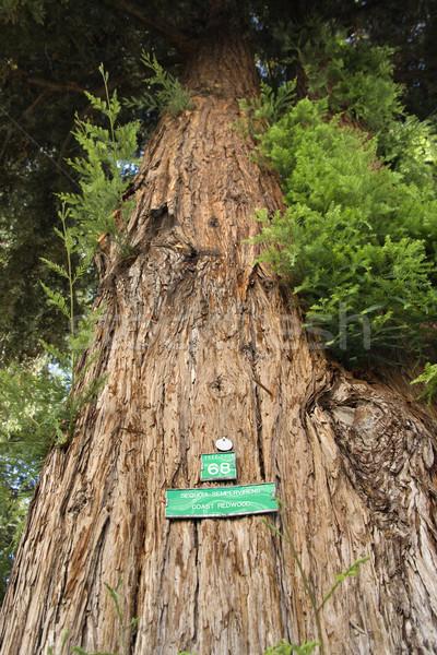 Sekwoja podpisania California drzewo tle Zdjęcia stock © iofoto