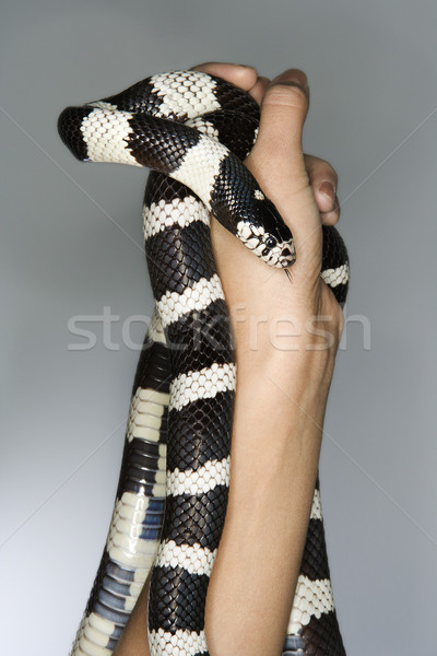 California Kingsnake held in hands. Stock photo © iofoto