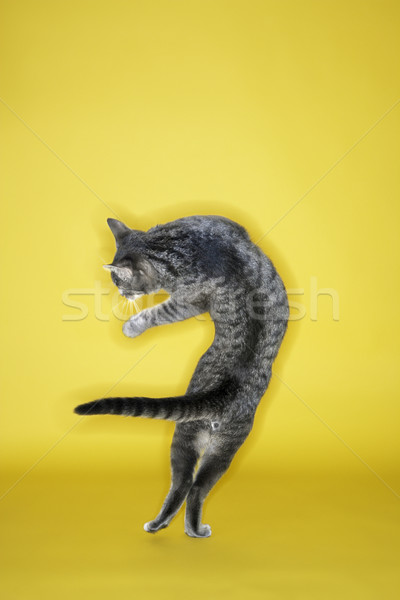 Gray cat twisting in air. Stock photo © iofoto