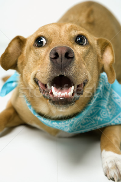 Játékos kutya visel fejpánt néz szín Stock fotó © iofoto