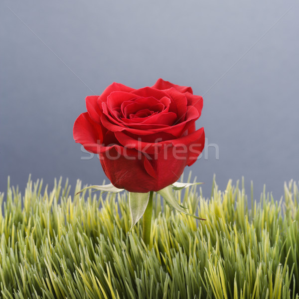Red rose in grass. Stock photo © iofoto