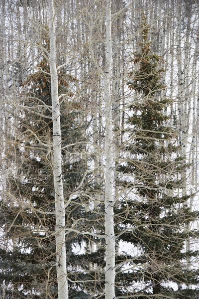 Evergreen albero foresta alberi nudo inverno Foto d'archivio © iofoto