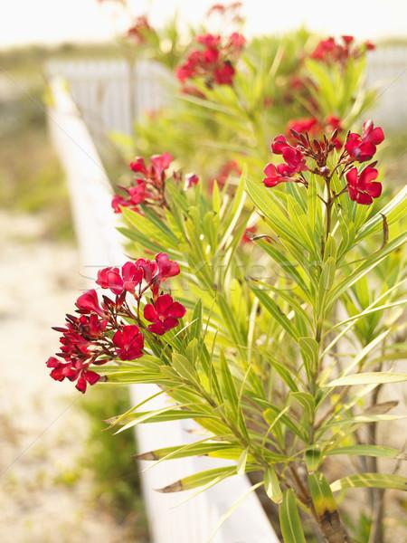 Red Oleander bush. Stock photo © iofoto
