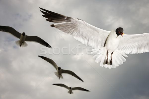 Sirályok repülés madár madarak szín repülés Stock fotó © iofoto